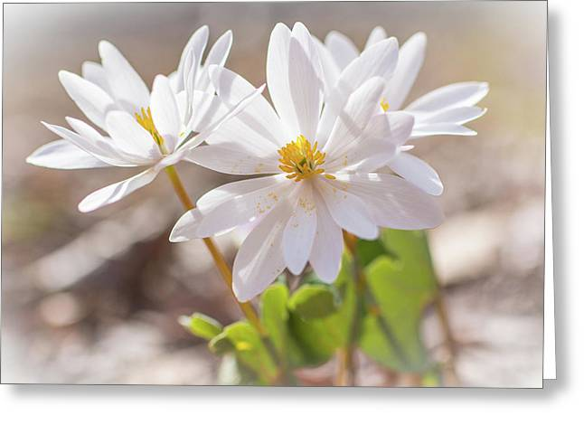 Bloodroot Wildflowers In The Sun - Sanguinaria Canadensis Greeting Card by Mother Nature