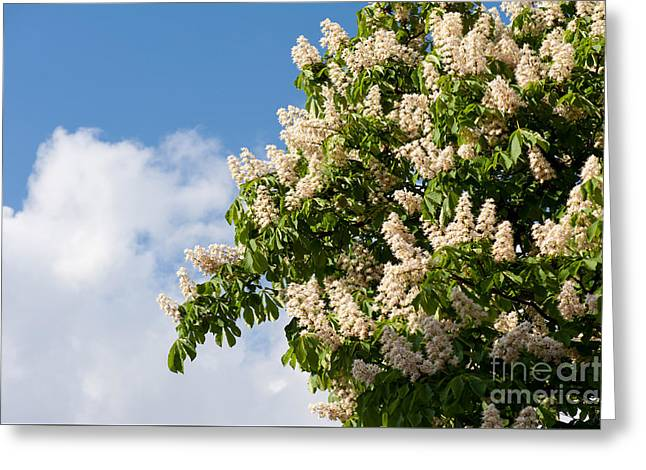 blooming Aesculus on blue sky in sunlight  Greeting Card by Arletta Cwalina