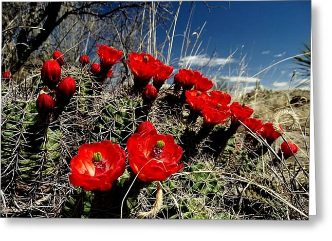 Blooming Claret Cup Greeting Card by Dennis Nelson