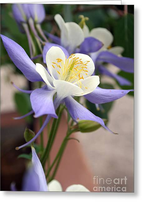 Blooming Columbine Greeting Card by Andrew Serff