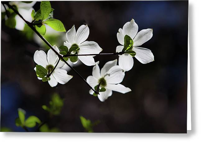 Blooming Dogwoods In Yosemite 4 Greeting Card by Larry Marshall