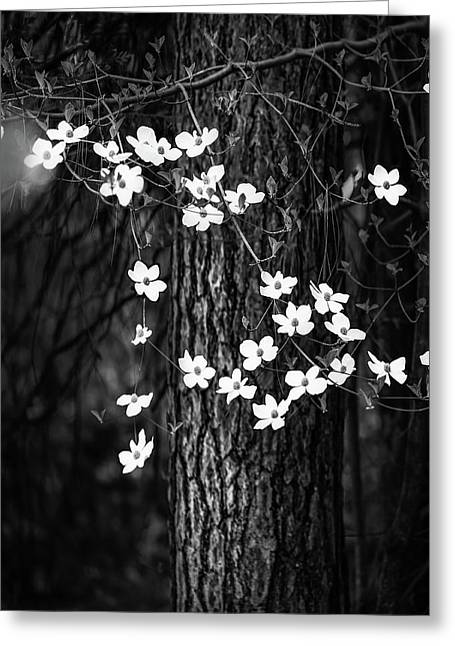 Blooming Dogwoods In Yosemite Black And White Greeting Card