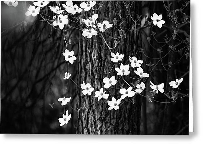 Blooming Dogwoods In Yosemite Black And White Greeting Card by Larry Marshall