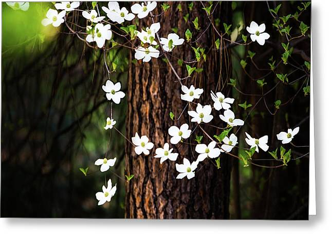 Blooming Dogwoods In Yosemite Greeting Card by Larry Marshall
