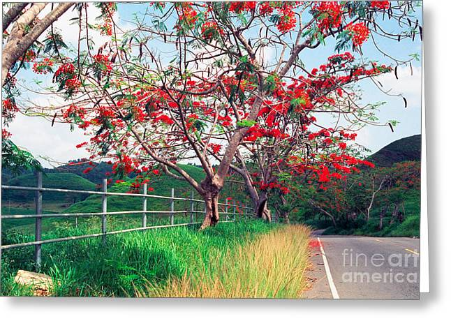 Blooming Flamboyan Trees Along A Country Road Greeting Card by George Oze