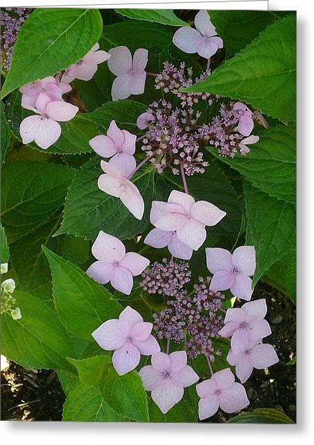 Blooming Hydrangea Greeting Card by Connie Young
