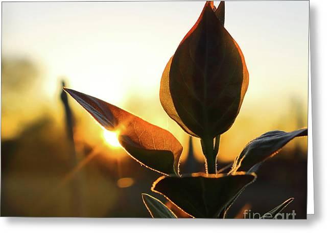 Blooming Lilac At Sunset Greeting Card
