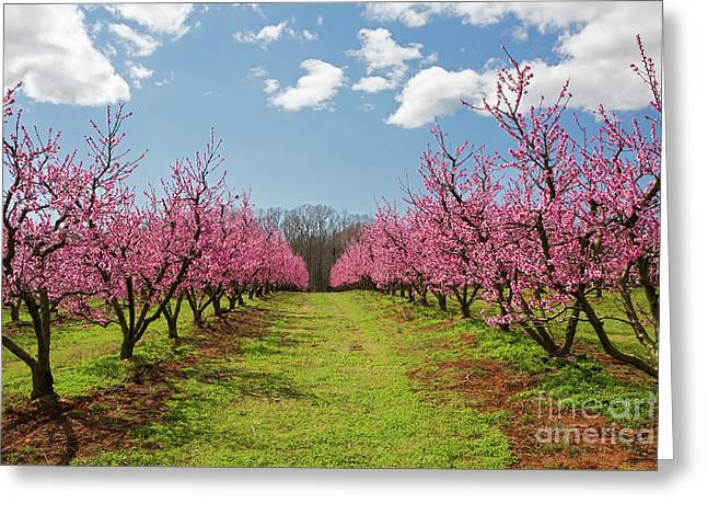 Blooming Peach Orchard 1 Greeting Card