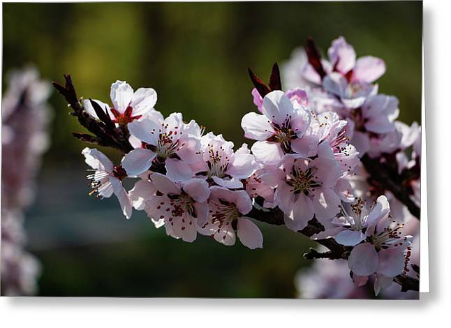 Blooming Peach Tree Greeting Card
