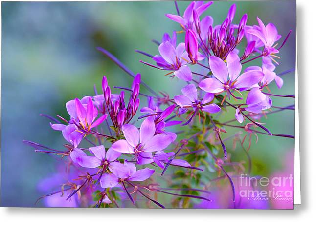 Greeting Card featuring the photograph Blooming Phlox by Alana Ranney