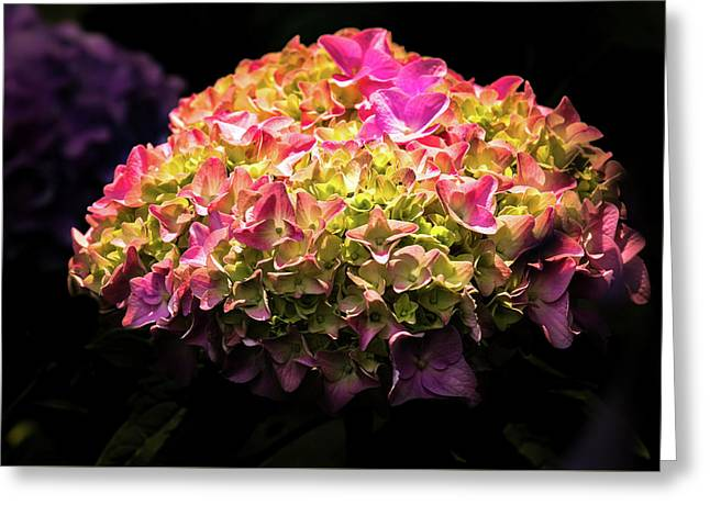 Blooming Pink Hydrangea Greeting Card by Onyonet  Photo Studios