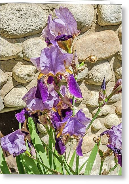 Greeting Card featuring the photograph Blooming Purple Iris by Sue Smith
