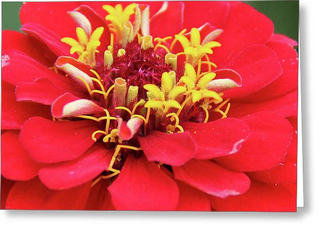 A Blooming Red Flower Greeting Card by Margo Cat Photos