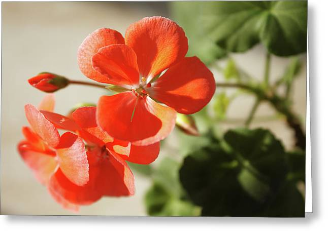 Blooming Red Geranium Greeting Card by Larissa Davydova