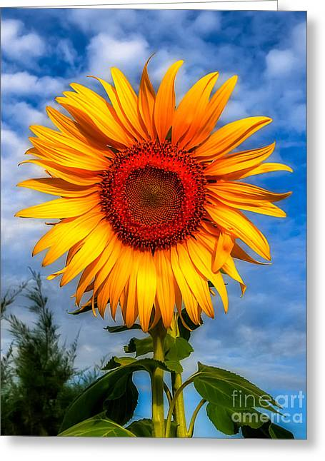 Blooming Sunflower  Greeting Card by Adrian Evans