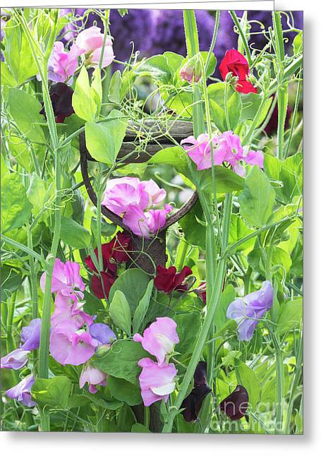 Blooming Sweet Peas Greeting Card