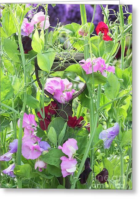 Blooming Sweet Peas Greeting Card by Tim Gainey