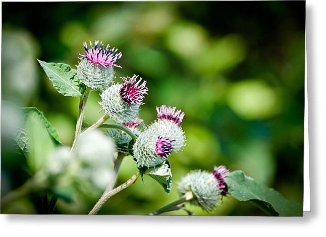 Wisconsin Greeting Cards - Blooming Thistles Greeting Card by Laura Pineda