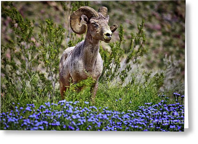 Blooms And Bighorn In Anza Borrego Desert State Park  Greeting Card