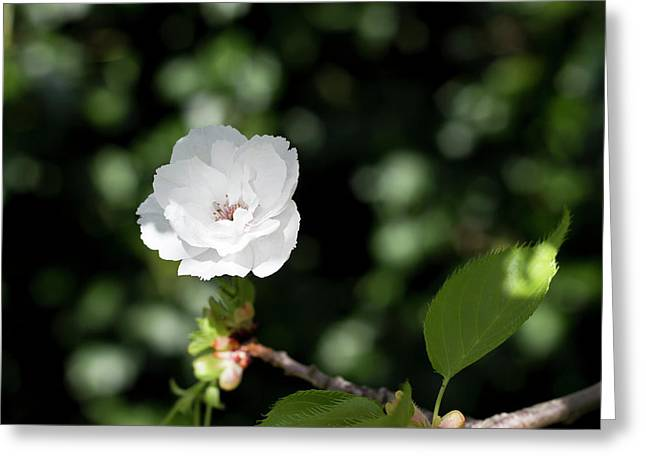 Blossom In The Shade Greeting Card