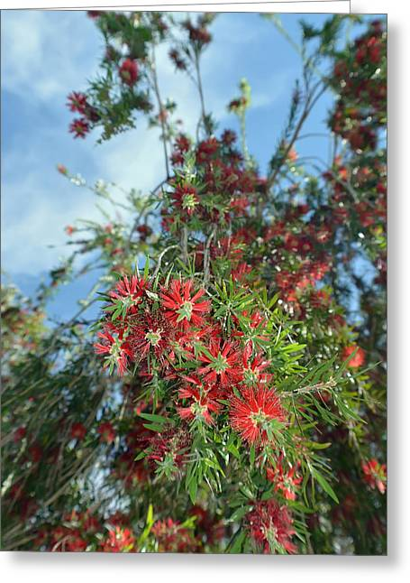 Blossoming Bottlebrush Greeting Card by Aimee L Maher Photography and Art Visit ALMGallerydotcom