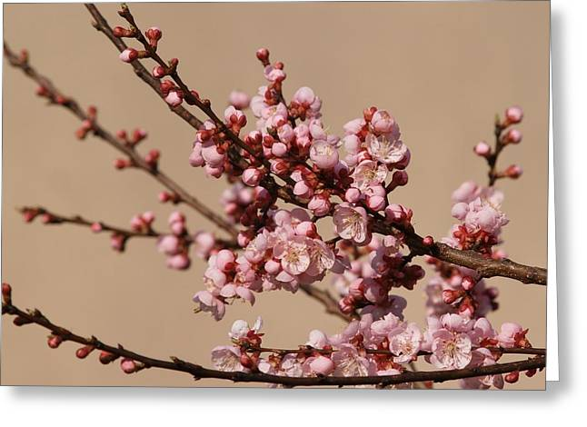 Blossoming In Pink Greeting Card by Polonca Supej