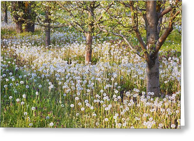 Tuttle Greeting Cards - Blossoms Growing In A Fruit Orchard In Greeting Card by Craig Tuttle