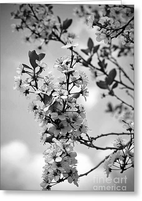 Blossoms In Black And White Greeting Card