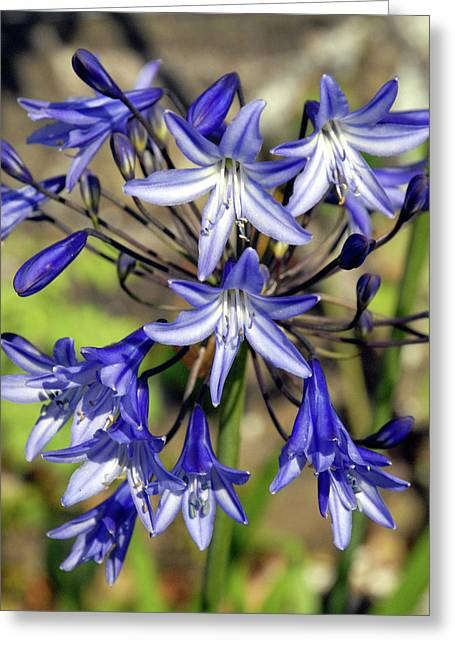 Blue Allium Greeting Card by Robert Shard