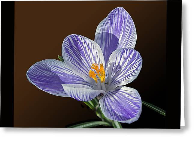 Blue And White Crocus Greeting Card by Brian Wallace
