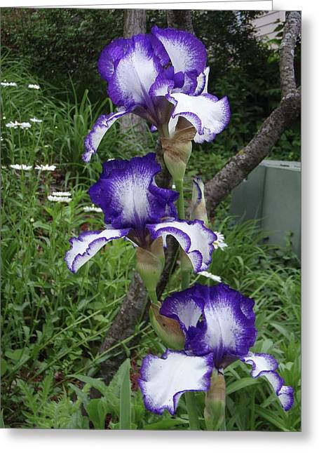 Blue And White Iris Monet Like Greeting Card