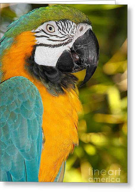 Blue-and-yellow Macaw Ara Ararauna Greeting Card by Gerard Lacz