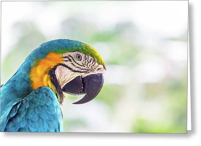 Blue And Yellow Macaw Closeup Greeting Card