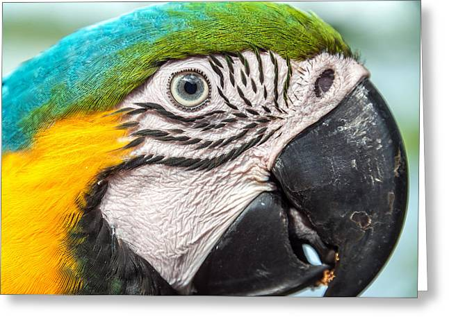 Blue And Yellow Macaw Face Greeting Card
