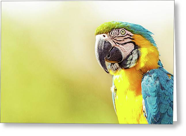 Blue And Yellow Macaw With Copy Space Greeting Card