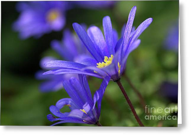 Blue Anemone  Greeting Card by Sharon Talson