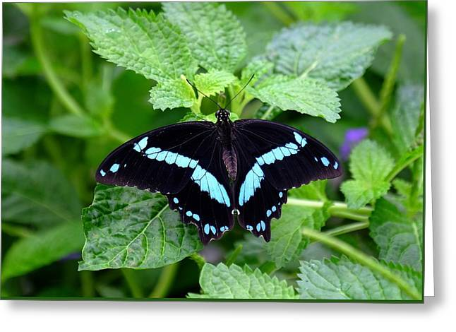 Blue Banded Swallowtail Butterfly Greeting Card