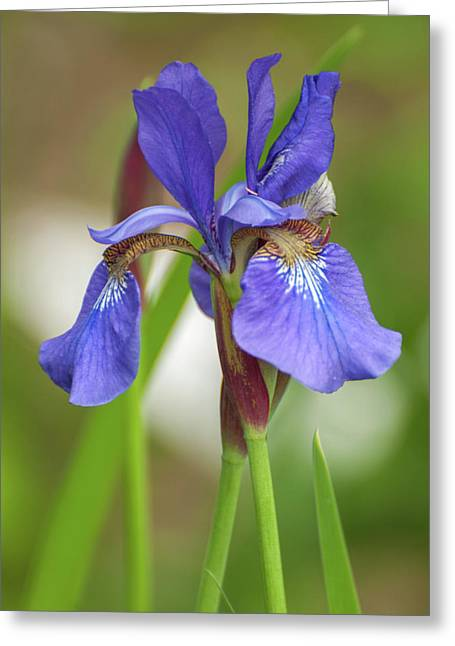 Greeting Card featuring the photograph Blue Bearded Iris by Brenda Jacobs