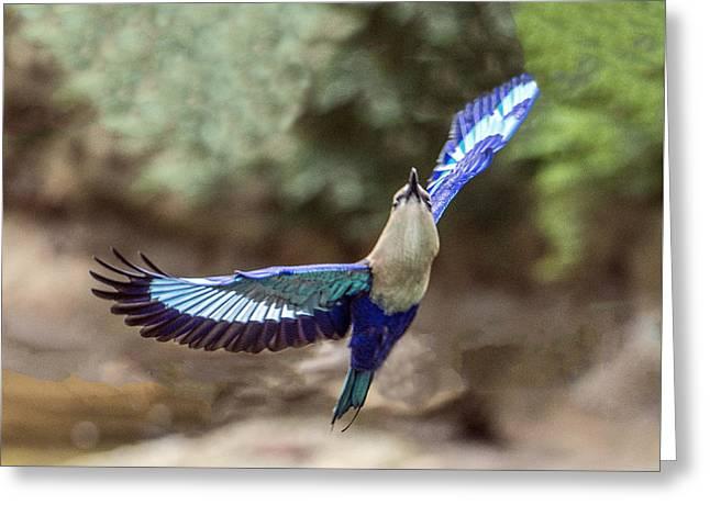 Blue-bellied Roller In Flight Greeting Card