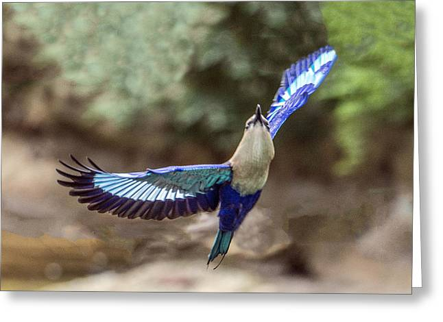 Blue-bellied Roller In Flight Greeting Card