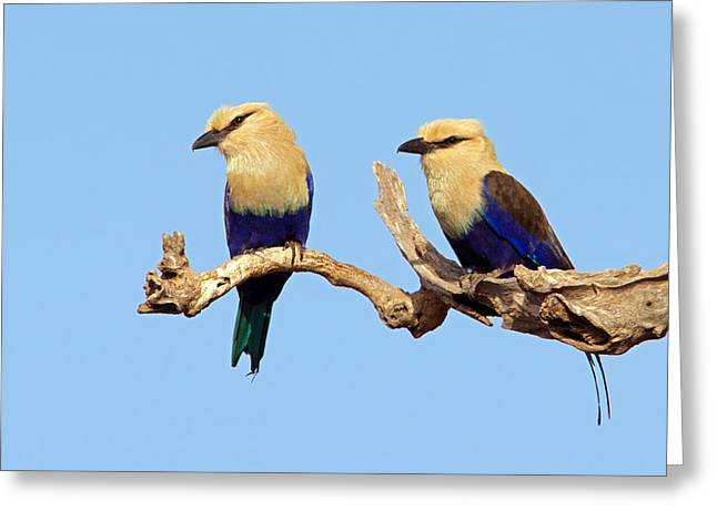 Blue-bellied Rollers On Branch  Greeting Card