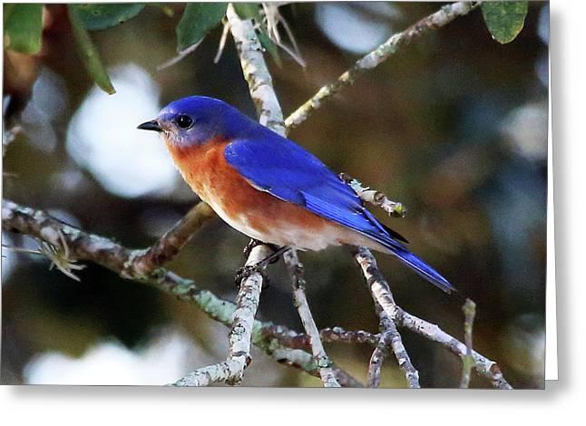 Blue Bird Greeting Card by Lamarre Labadie