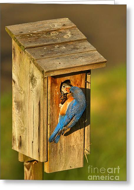 Blue Bird Feeding His Young Greeting Card