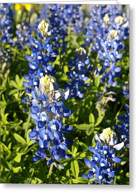 Blue Bonnets Greeting Card by James Granberry