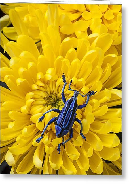 Blue Bug On Yellow Mum Greeting Card