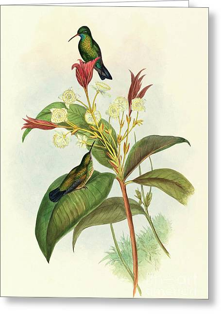 Blue Chinned Sapphire Greeting Card by John Gould
