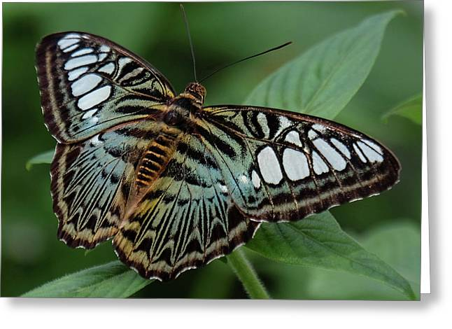 Blue Clipper Butterfly Open Greeting Card