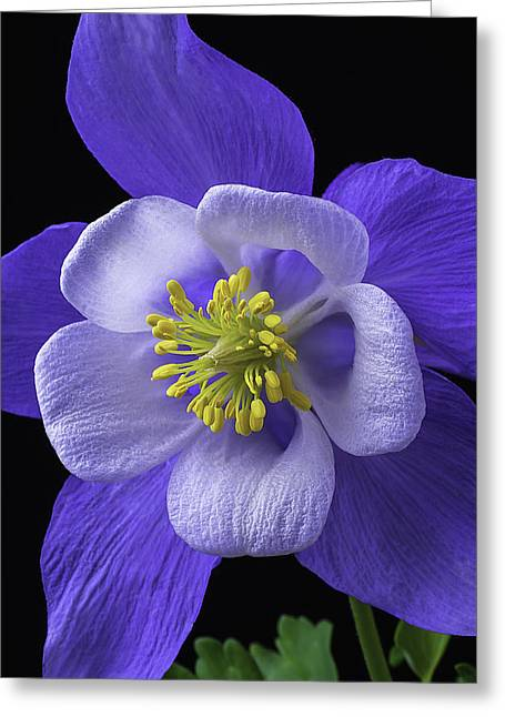 Blue Columbine Greeting Card by Garry Gay