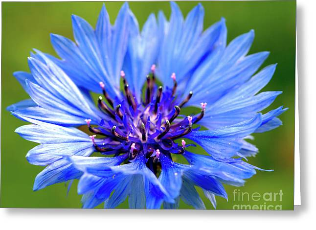 Blue Cornflower Greeting Card