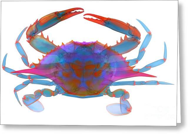 Blue Crab, X-ray Greeting Card